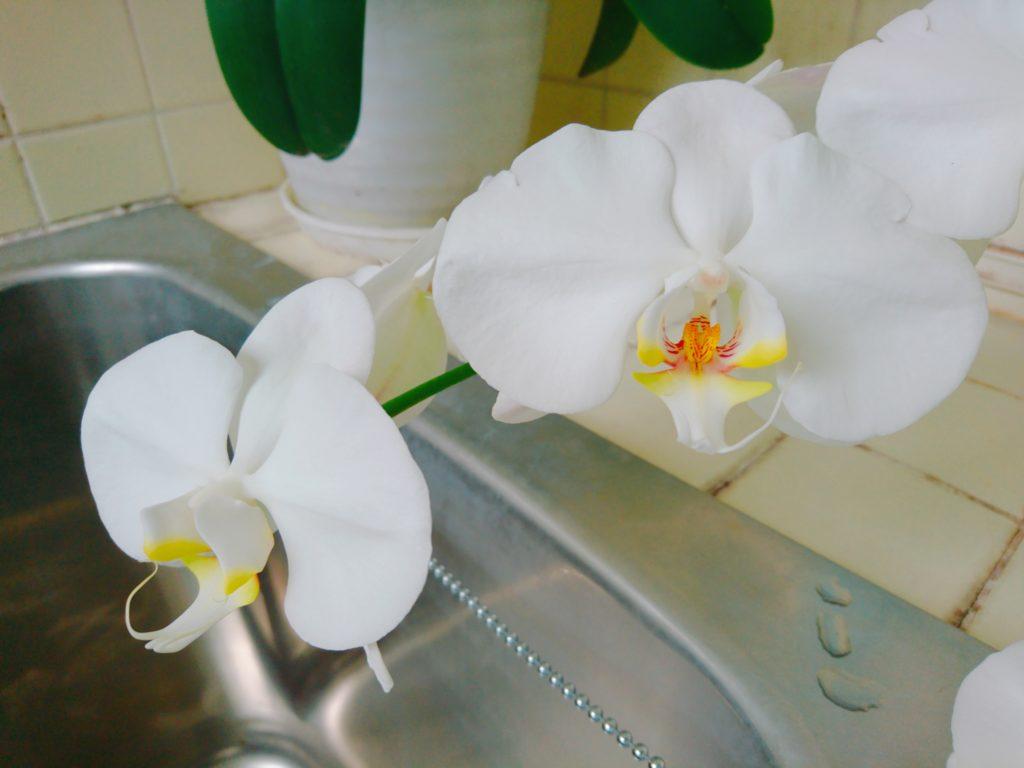 胡蝶蘭の写真2