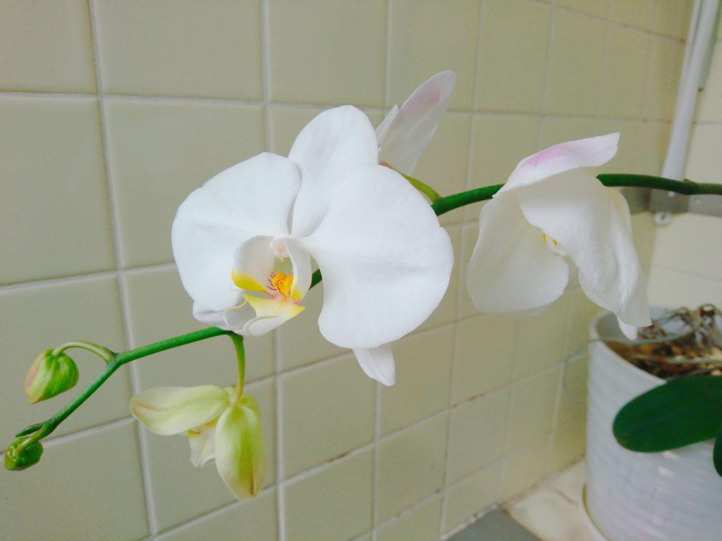 胡蝶蘭の写真1