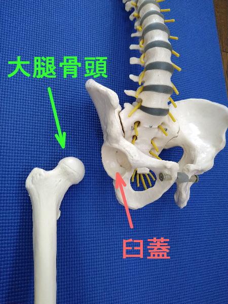 大腿骨頭と臼蓋